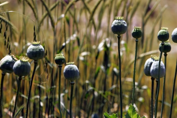 کینسر کا علاج کرنے والے پودے