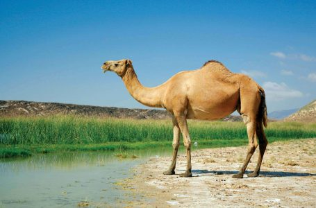 Camel Cloning in High Demand in the UAE